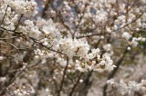 明日香村・石舞台の桜4