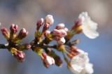 明日香村・石舞台の桜24