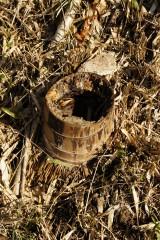 切られた古い竹の株