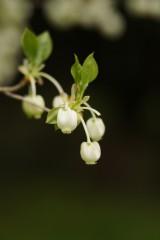 ドウダンツツジの花1