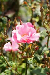 バラの花(万博公園)・ピンク6