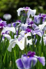ショウブ 花・紫9