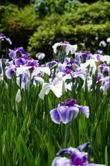 ショウブ 花・紫8