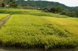 稲が倒れている段々畑