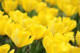 チューリップ(黄色) 花畑2