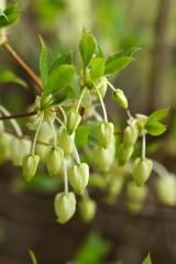 ドウダンツツジの若い花