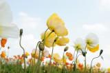 空とポピーの花畑