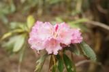 石楠花 (シャクナゲ)