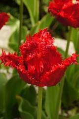 チューリップの花 赤3