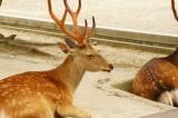 奈良の鹿・側面3