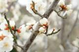 梅のつぼみ・枝
