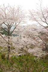 吉野・下千本の桜(4/15)