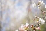 明日香村・石舞台の桜6