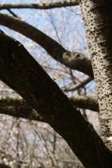 明日香村・桜のつぼみ