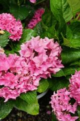 アジサイの花・ピンク1