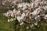 明日香村・石舞台の桜18