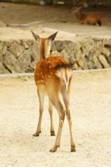 奈良の鹿・背面