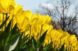 チューリップ(黄色) 花畑3