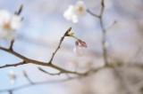明日香村・石舞台の桜7