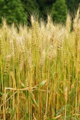麦の穂(茶色)4