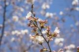明日香村・石舞台の桜22