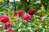 バラの花畑・紅2