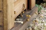 巣箱を出入りするハチ