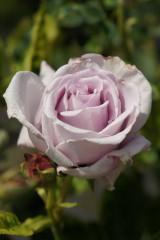 バラの花(万博公園)・薄紫4