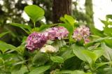 アジサイの花・ピンク8