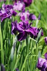ショウブ 花・紫6