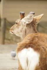 奈良 鹿・背面1