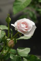 バラの花5・一輪(白・薄いピンク)