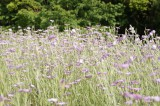 アグロステンマ(麦仙翁)の花畑2