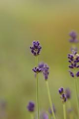 ラベンダー(濃紫)3