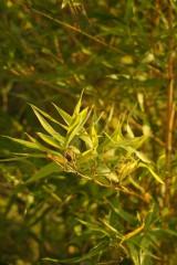 竹の葉 アップ