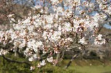 明日香村・石舞台の桜9