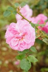 バラ 花・ピンク6