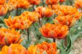 チューリップの花畑 オレンジ