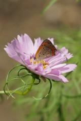 チョウが乗っているコスモスの花 アップ