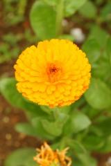 ポットマリーゴールド・オレンジ1