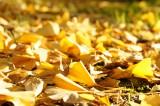 地面一面のイチョウの葉1