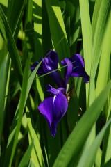 カキツバタの花・紫1