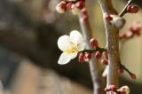 梅の花18