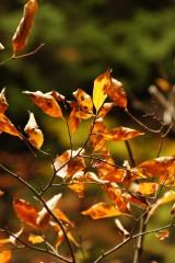秋 紅葉づいた葉1