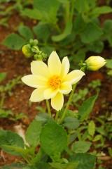 ダリアの花・黄色2