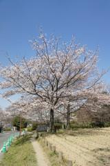 明日香村・石舞台 桜31