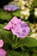 アジサイの花・紫9