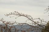 吉野・上千本の桜