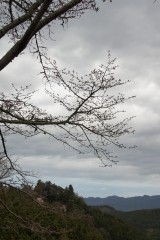 吉野・中千本 桜