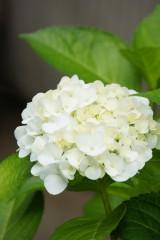 アジサイの花・白2